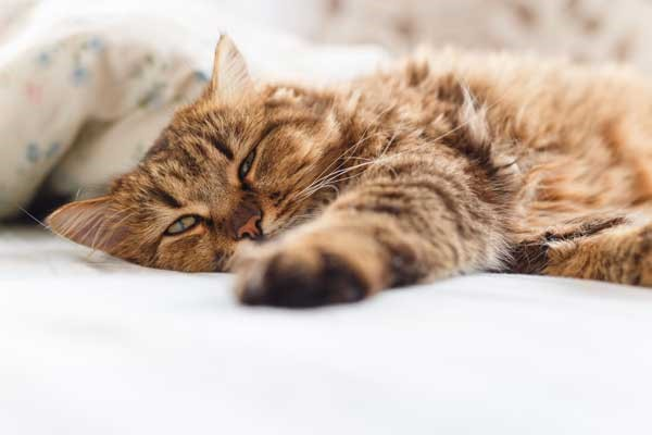 Pros and Cons of Feeding CBD Oil Treats to Your Cat